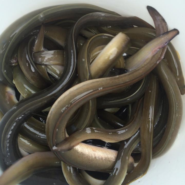 fishing with eels