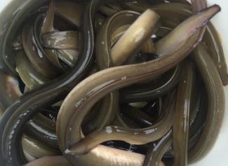 fishing with eels